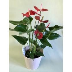 Plante intérieure Anthurium...