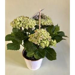 Plante extérieure Hortensia...