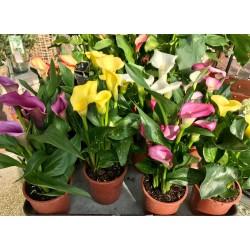 Plante extérieure Calla