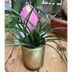 Plante Tillandsia cyanea...