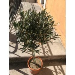 Olivier plante extérieure