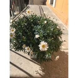 Anthemis plante extérieure