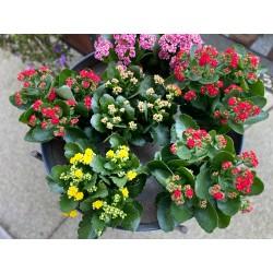 Kalanchoe plante extérieur
