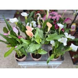Calla plante extérieur