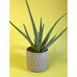 Aloe Vera avec son cache-pot